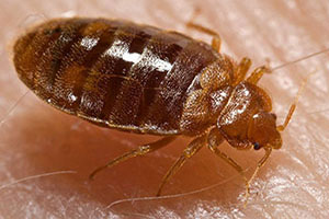 Bed Bug Exterminator NYC All Out Bed Bug Exterminating