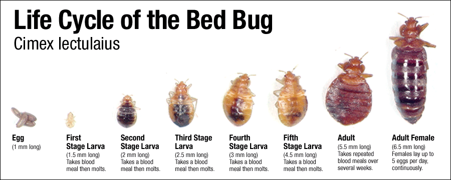 Kill Bed Bugs NYC